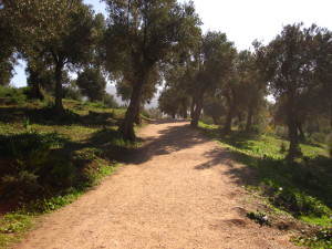 Solo in Morocco - Olive trees in Volubilis